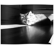 Macy Maine Coon Poster