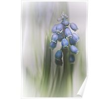 Grape Hyacinth VII Poster