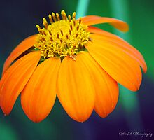 Brilliant Orange Flower by William Martin