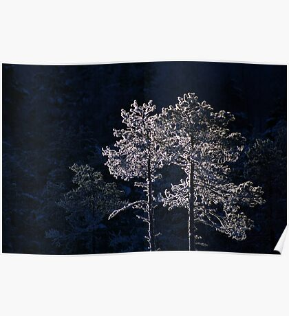 18.1.2013: Pine Trees in Winter's Light II Poster