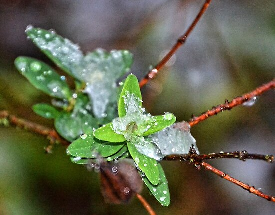 Icy Leaf by lynn carter