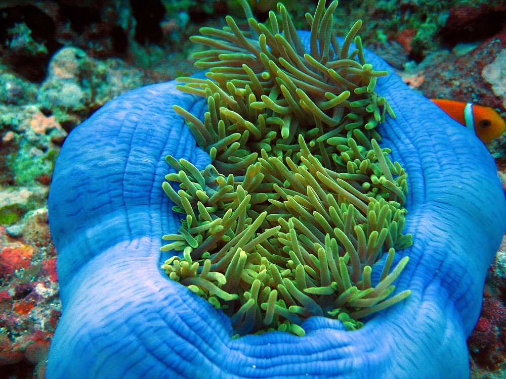 Sea anenome with a lurking clownfish by simon17