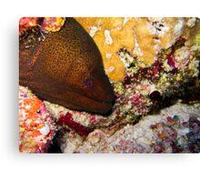 Giant moray Eel  Canvas Print