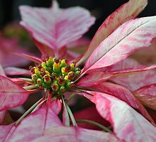 Center of attention - Fancy Pink Poinsettia  by Poete100