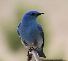 Bluebird 3 by Kathi Huff