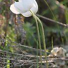 Windflower by Kathi Arnell