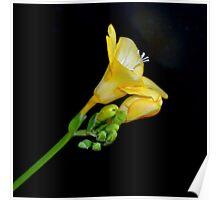 Yellow Freesia Poster