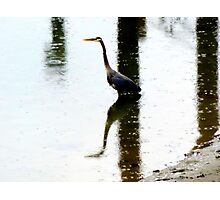 reflections of a blue heron~ Photographic Print