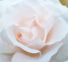 A Tinted Rose  by PictureNZ