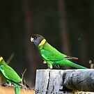 pretty parrots by lilli robertson