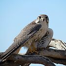Prairie Falcon~ Eye Contact by Kimberly Chadwick