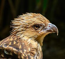 Whistling Kite by Steve Randall