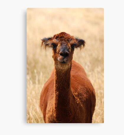 alpaca - movie star? Canvas Print