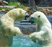 Polar bears wrestling - momentary pause by Alexey Dubrovin