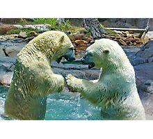 Polar bears wrestling - smash and dodge Photographic Print