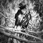 australian kurrawong by parko