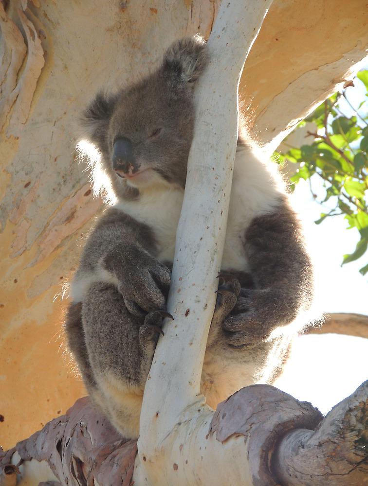 Koala (Phascolarctos cinereus) - Horsnell's Gully, South Australia by Dan & Emma Monceaux