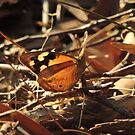Common Brown Butterfly (Heteronympha merope) - Horsnell's Gully, South Australia by Dan & Emma Monceaux