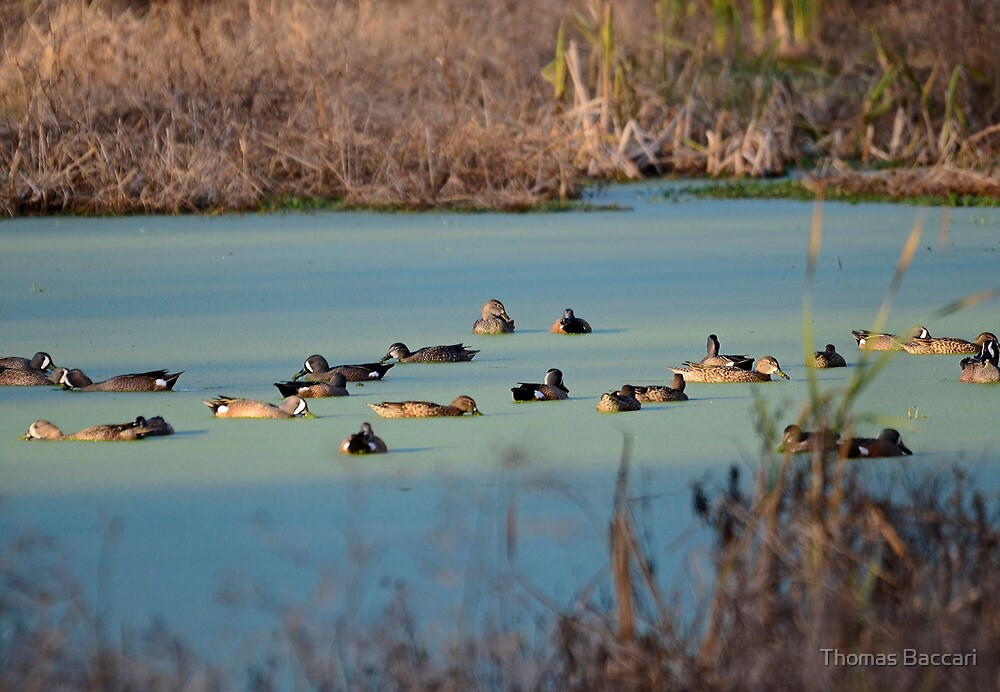 DUCKS EVERYWHERE by TJ Baccari Photography