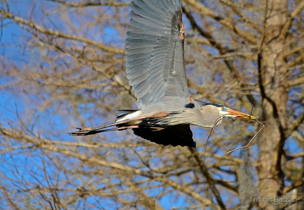 Great Blue Heron Going To the Nest by TJ Baccari Photography