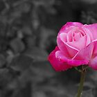 Pink rose sc by rom01