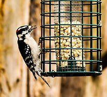 Downy Woodpecker by Ty Helton