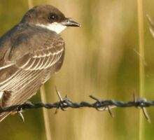 Eastern Kingbird Sticker