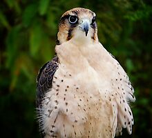 Lanner Falcon? by Nancy Richard
