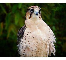 Lanner Falcon? Photographic Print