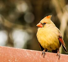 Female Northern Cardinal 2 by Ty Helton