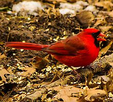 Northern Cardinal at the Bird Feeder by Ty Helton