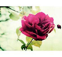 January Rose Photographic Print
