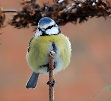 Blue Tit 17 by Magic-Moments