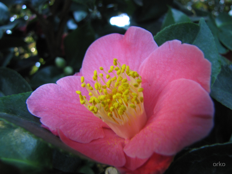 Camellia japonica by orko