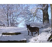 Dinefwr Castle the artist's dog in snow-01 Photographic Print