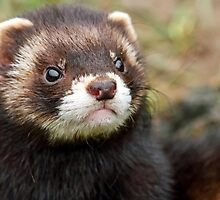 Polecat Up Close by Mark Hughes
