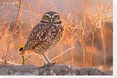 Burrowing Owl at Sunset by Mavourneen Strozewski