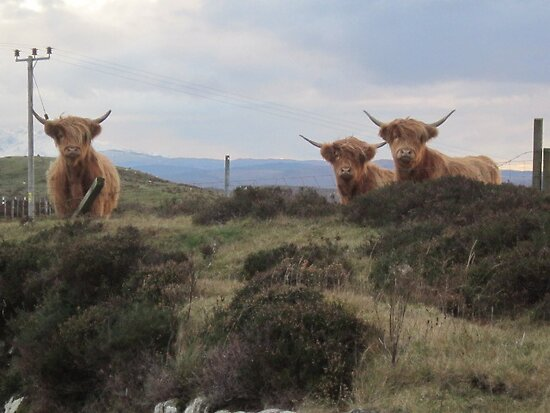 Highland cows by jmnicolson