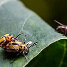 Three lined potato beetles - lema trilineata daturaphila by Normf