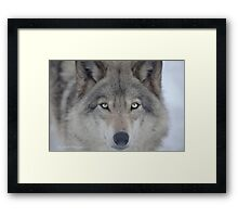 ..a charismatic Wolf... Framed Print