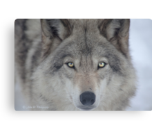 ..a charismatic Wolf... Canvas Print
