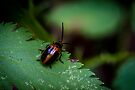 Orange Oides Leaf Beetle - Oides dorsosignata by Normf