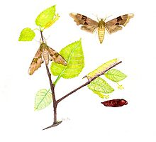 Life Cycle Lime Hawk Moth by JamesAlden