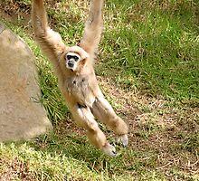 White Handed Gibbon by Henrik Lehnerer
