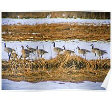 Wild Geese Migration, Cape Cod, Massachusetts Poster
