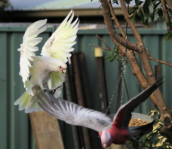 Short Billed Corella  almost landing on Galah by Kym Bradley
