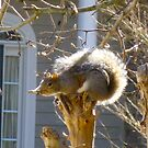 Tippy Top Squirrel 2 by Jonathan  Green