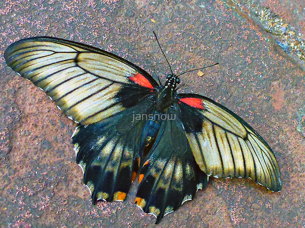 Common Mormon Butterfly © by jansnow