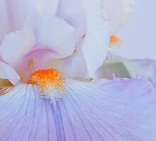 Iris by SeanBuckley