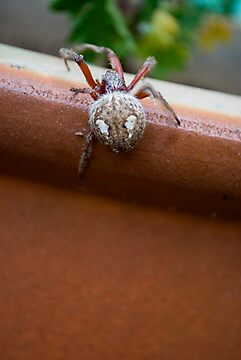Garden Spider - again! by Joyce Keevil